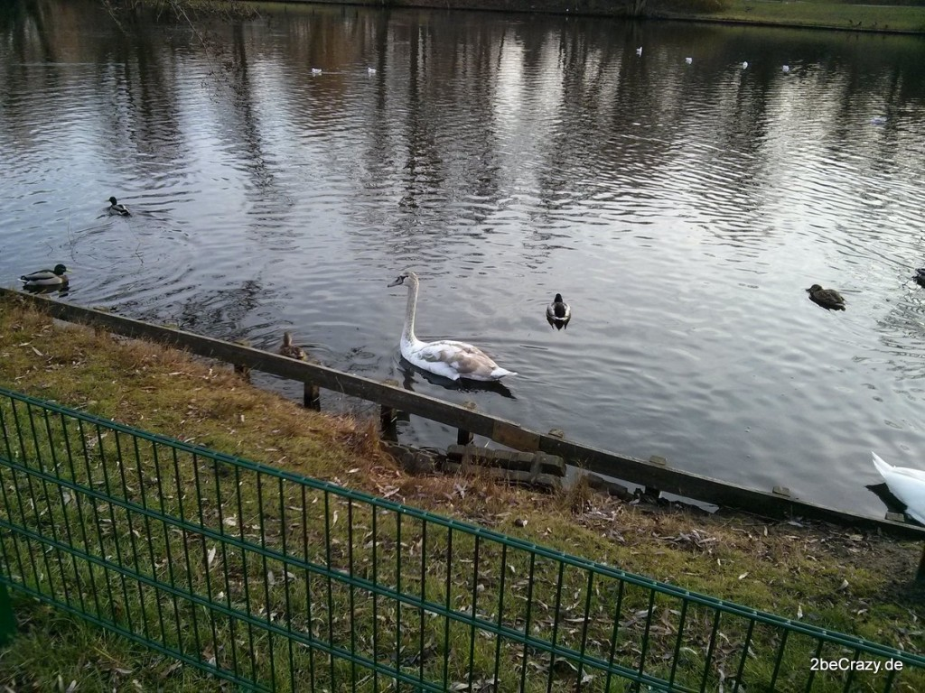 Schwan-Volkspark-Mariendorf (1)