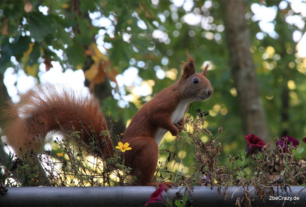 Eichhörnchen sitzt auf Balkon
